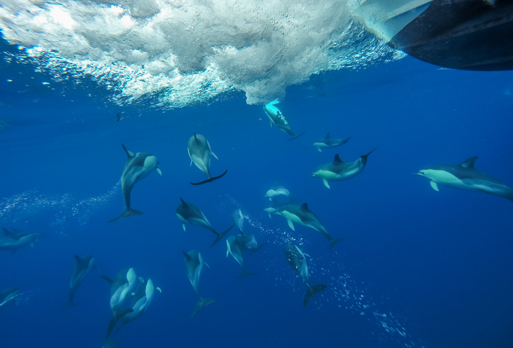 Common Dolphins, Azores