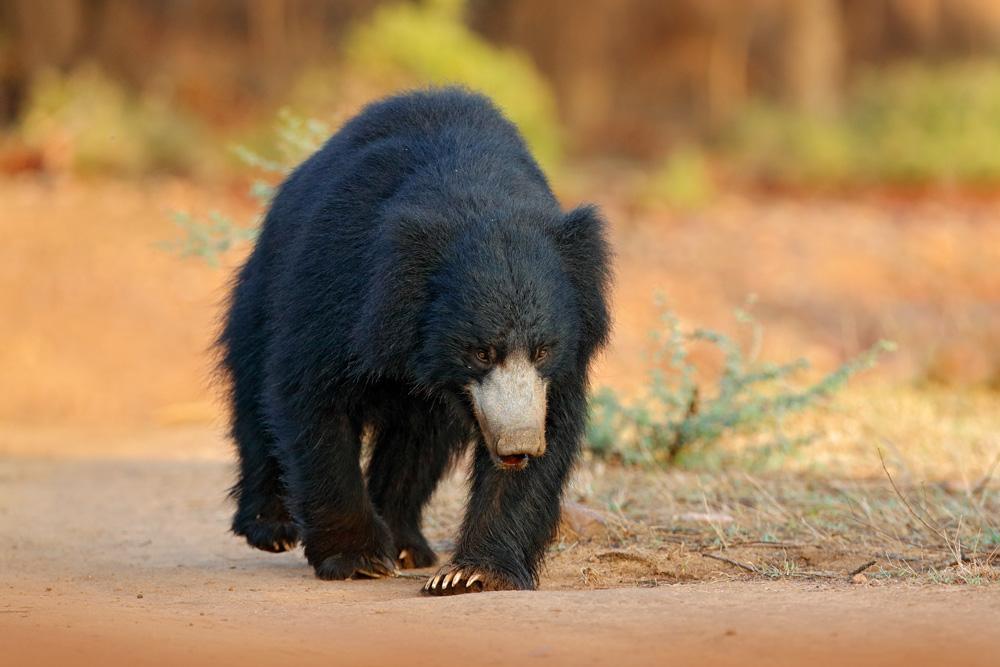 Sloth Bear, India